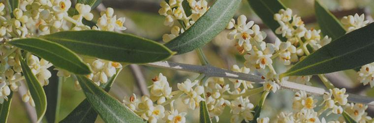 alergia-al-polen-olivo
