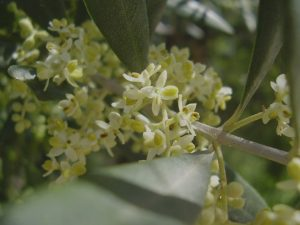 flores-olivo